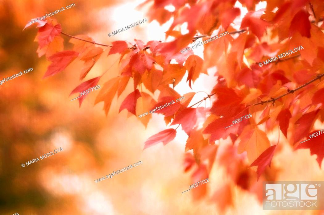 Stock Photo: Autumn Maple Colours. Acer rubrum. November 2007, Maryland, USA.