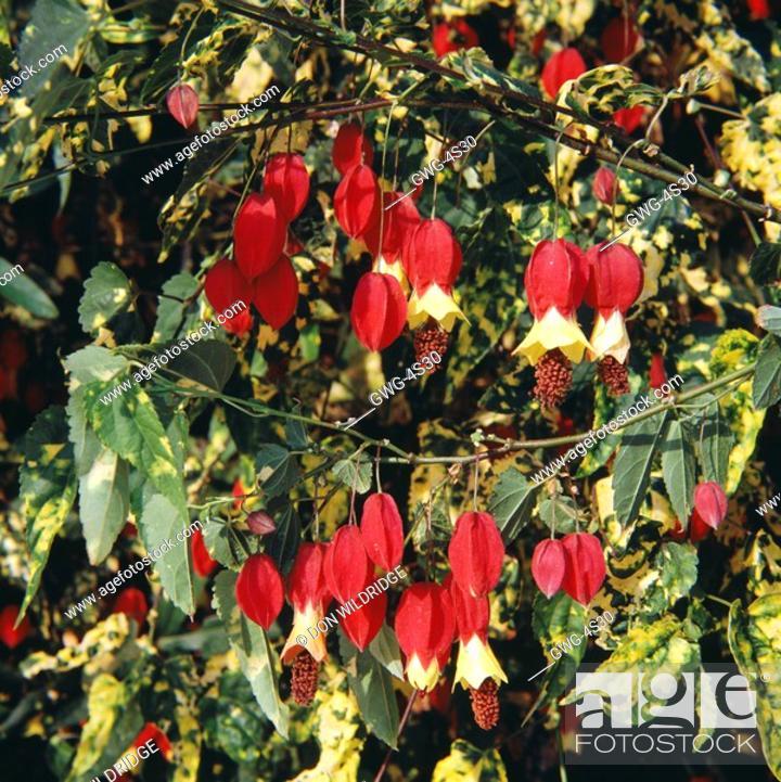 Abutilon Megapotamicum Variegatum Stock Photo Picture And Rights
