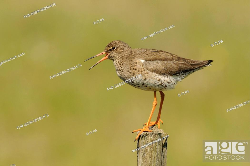 Stock Photo: Common Redshank Tringa totanus adult, breeding plumage, calling, standing on fencepost, Iceland, June.
