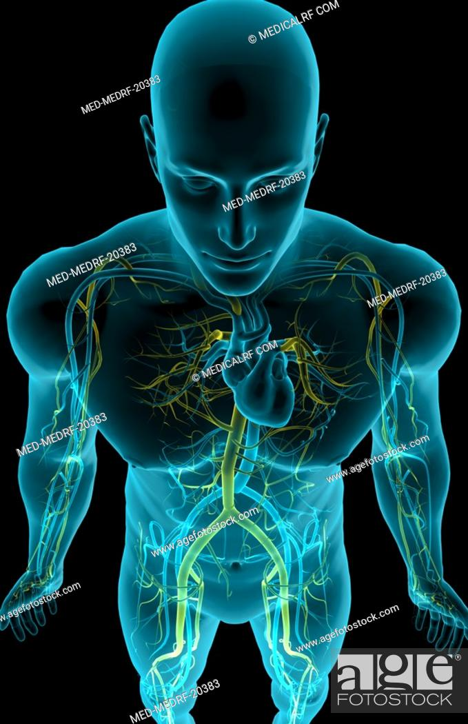 Stock Photo: The blood vessels of the upper body.