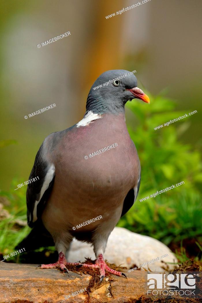 Stock Photo: Common wood pigeon (Columba palumbus), standing on a stone on the ground, North Rhine-Westphalia, Germany, Europe.