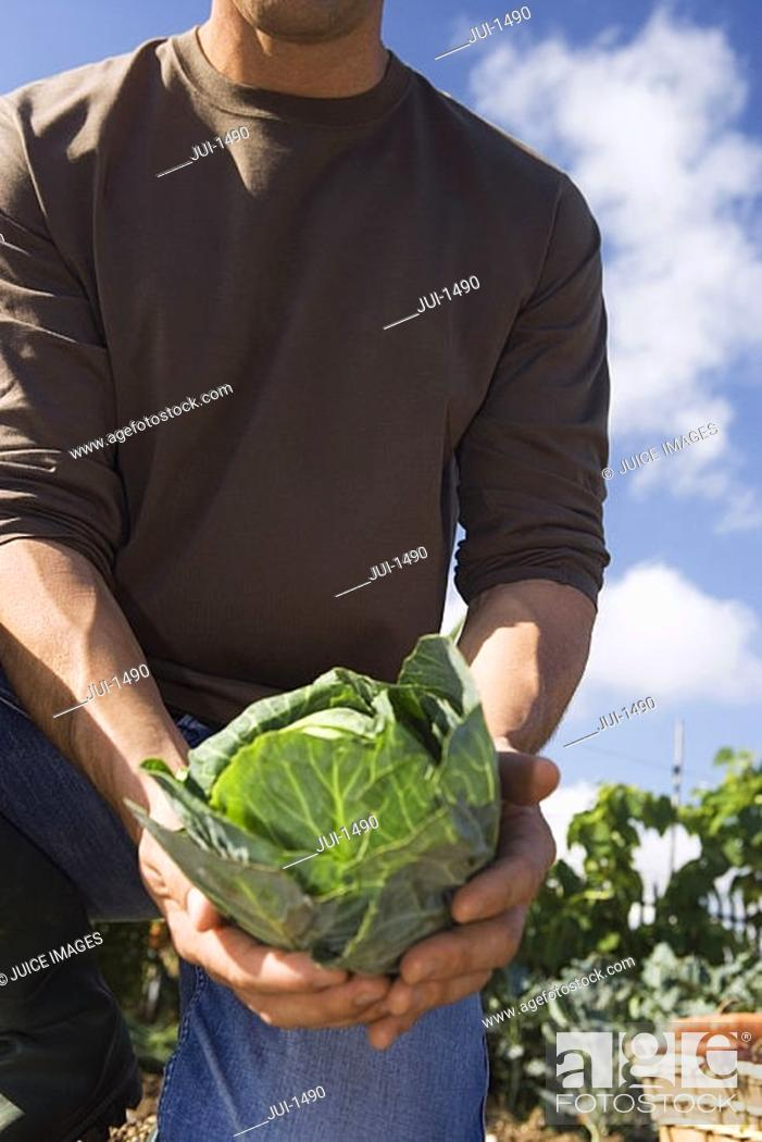 Stock Photo: Man holding fresh cabbage from vegetable garden, close-up, mid-section.