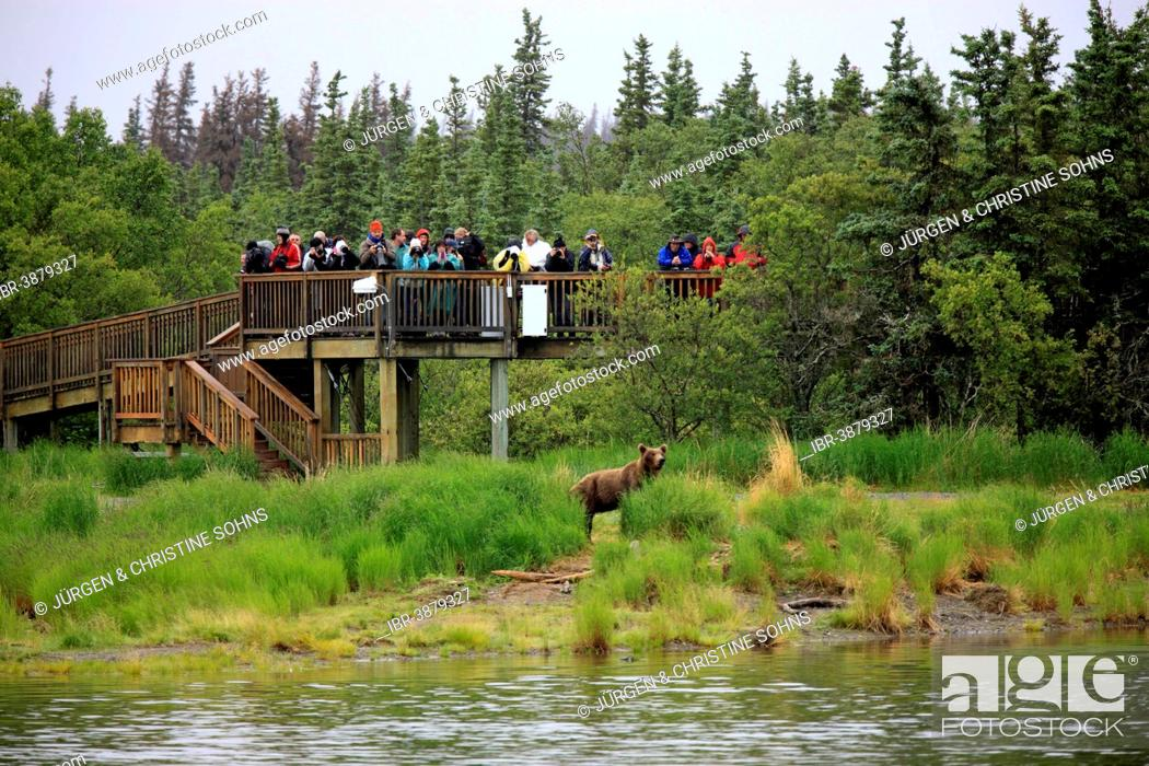 Photo de stock: Tourists on an observation deck watching a Grizzly Bear (Ursus arctos horribilis), Brooks River, Alaska, USA.