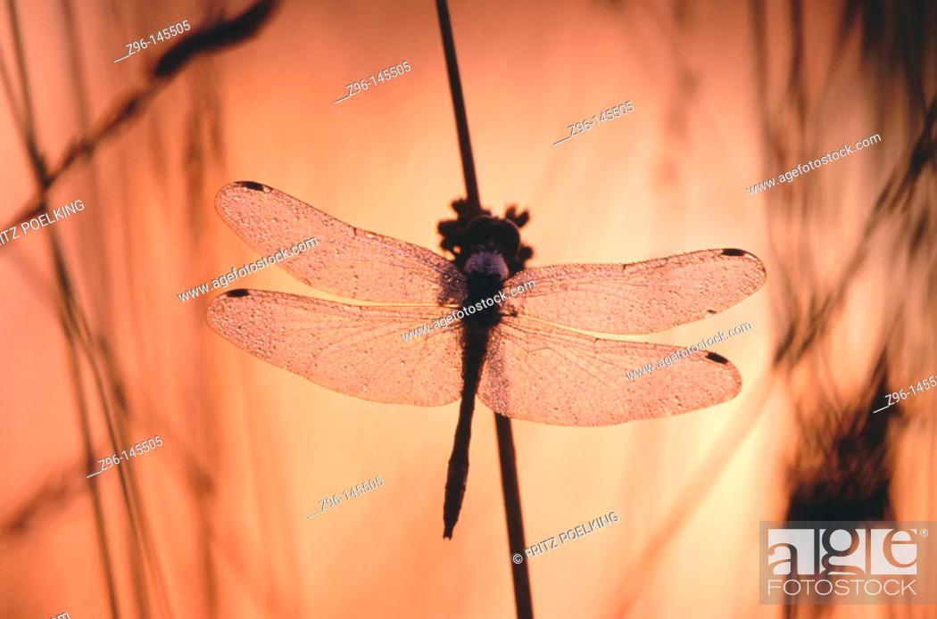 Stock Photo: Black Darter Dragonfly (Sympetrum danae). Germany.