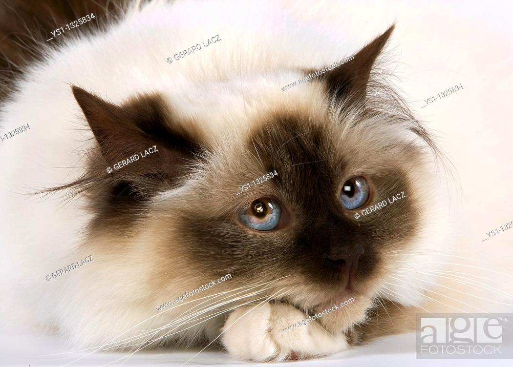 Stock Photo: SEAL BIRMANESE CAT.