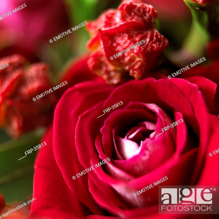 Stock Photo: close-up of roses in full bloom.