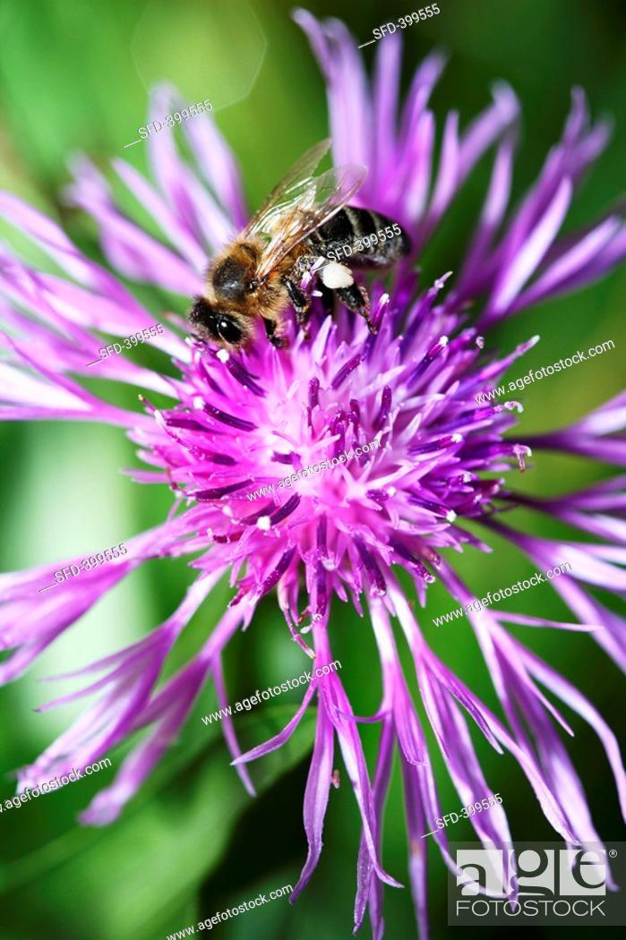 Stock Photo: Centaurea jacea, knapweed flower with bee.