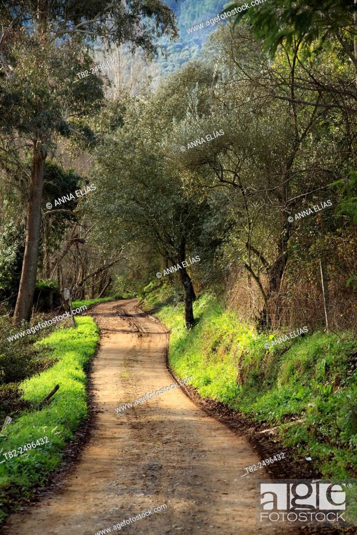 Stock Photo: chestnut forest path. Castano del Robledo, Huelva, Andalucia, Spain.