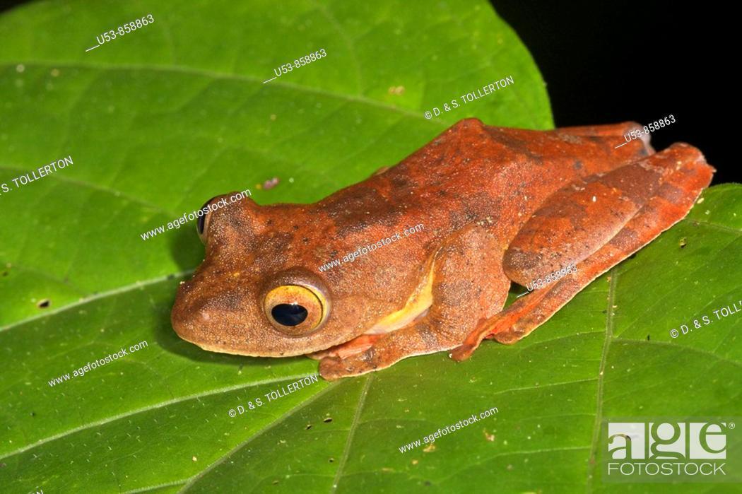 Stock Photo: Harlequin Tree Frog, Rhacophorus pardalis, Danum Valley, Sabah, Borneo, Malaysia.