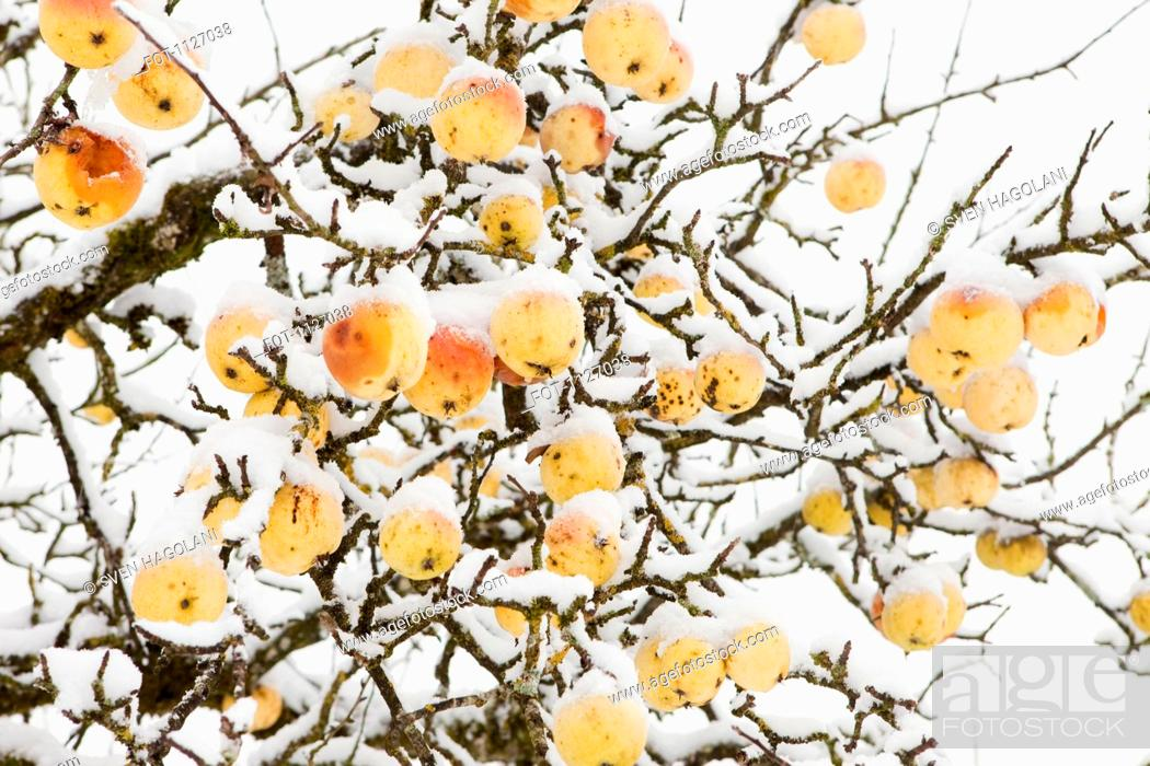 Stock Photo: Winter apple tree.