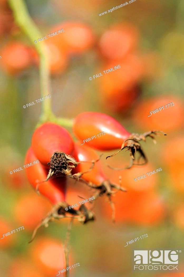 Imagen: Rosehip, Rosa, Close up of red hips growing on the bush.-.