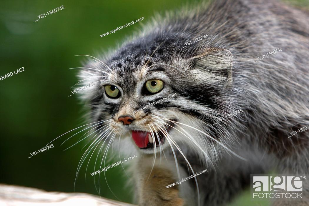Stock Photo: Manul or Pallas's Cat, otocolobus manul, Portrait of Adult.