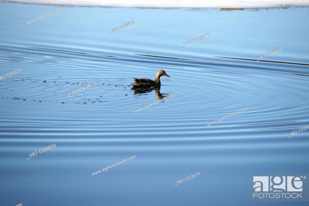 Stock Photo: Wild duck.