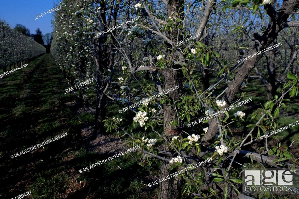 Stock Photo: Pear trees in bloom (Pyrus sp), Rosaceae.