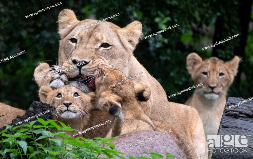 Stock Photo: 30 June 2021, Saxony, Leipzig: The lion cubs at Leipzig Zoo cuddle up around mother lion Kigali. With a small naming ceremony.