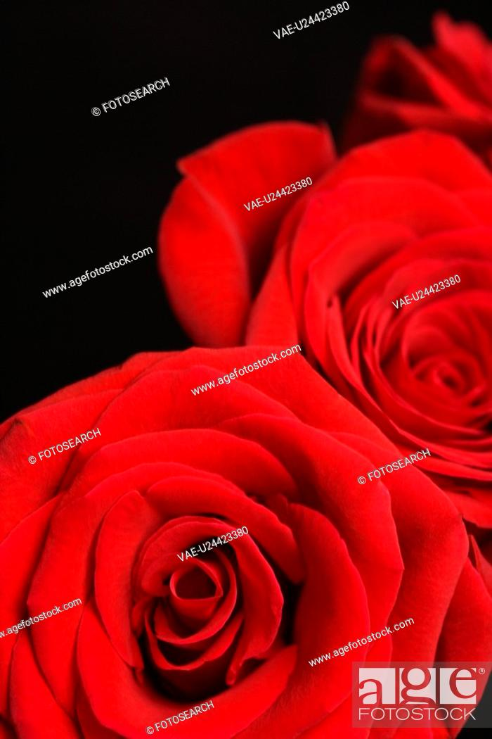 Stock Photo: Close-up of two red roses against black background.