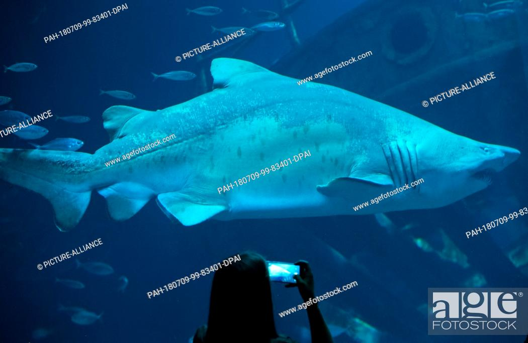Stock Photo: 09 July 2018, Germany, Stralsund: A sand tiger shark swims in the aquarium 'Offener Atlantik' (lit. open Atlantic) at the Oceanarium and is being watched and.
