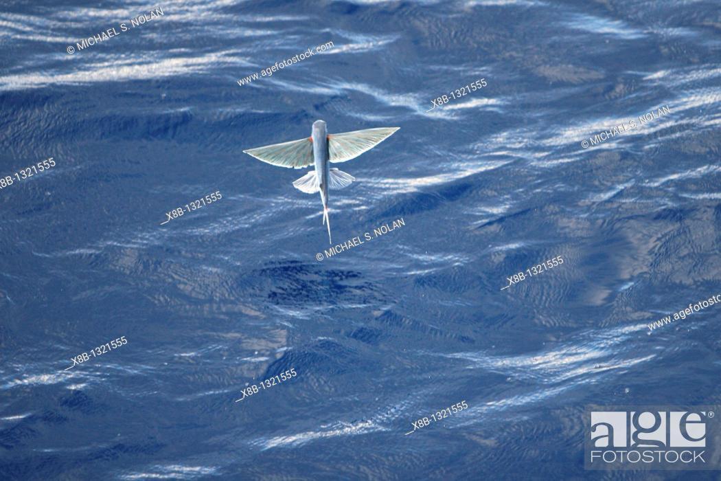 Atlantic Flying Fish | Atlantic Flying Fish Cypselurus Melanurus Fleeing The Bow And Taking