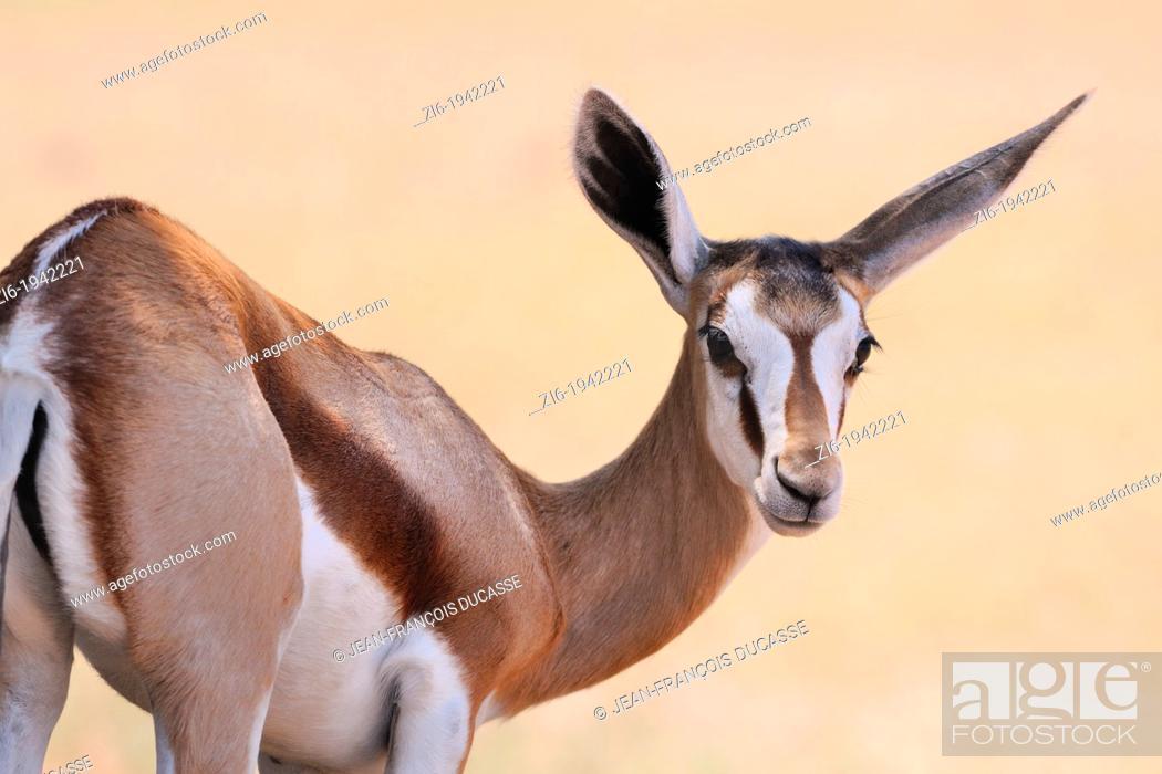 Stock Photo: Springbok, Antidorcas marsupialis, Kgalagadi Transfrontier Park, Northern Cape, South Africa.