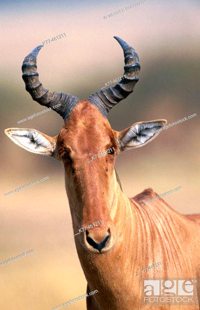 Stock Photo: Red Hartebeest (Alcelaphus buselaphus). Masai Mara Game Reserve. Kenya.