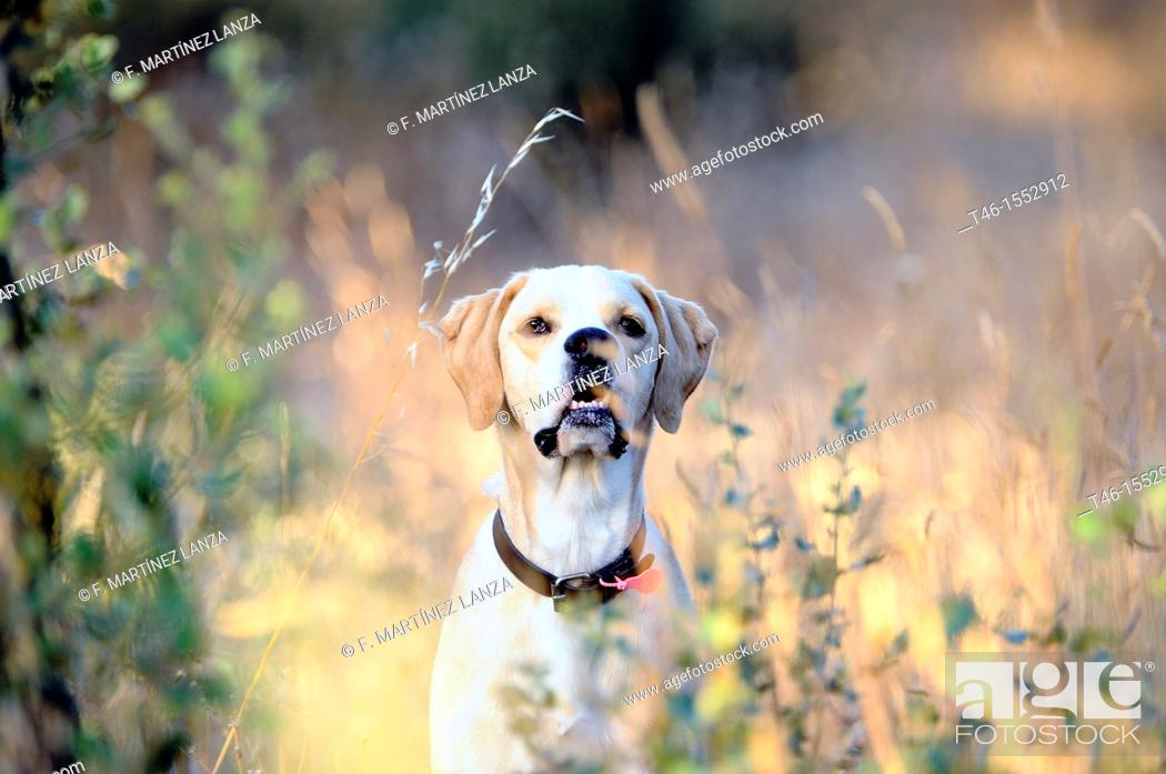 Stock Photo: Pointer hunting dog breed dog fiery, faster than given in the game as good as it is the dog.