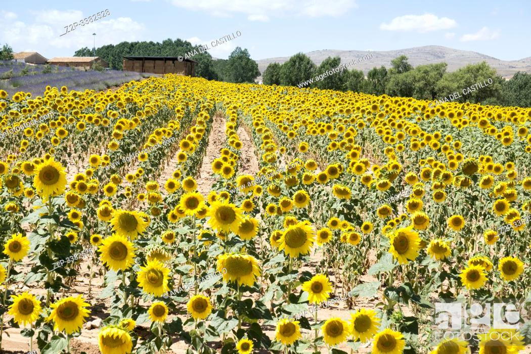 Stock Photo: Beautiful landscape of sunflowers in summer El Pobo Teruel Aragon Spain.