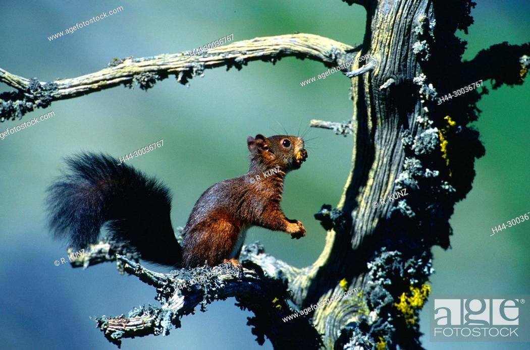 Stock Photo: Red Squirrel, Sciurus vulgaris, Sciuridae, rodent, mammal, animal, Zervreila, Alps, Vals, Canton of Graubünden, Switzerland.