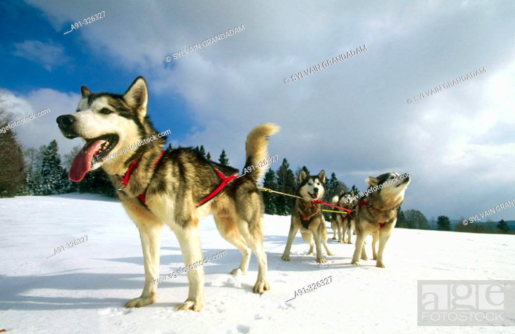 Stock Photo: Husky sleigh dogs. Les Fourgs. Doubs. Franche-Comté. France.