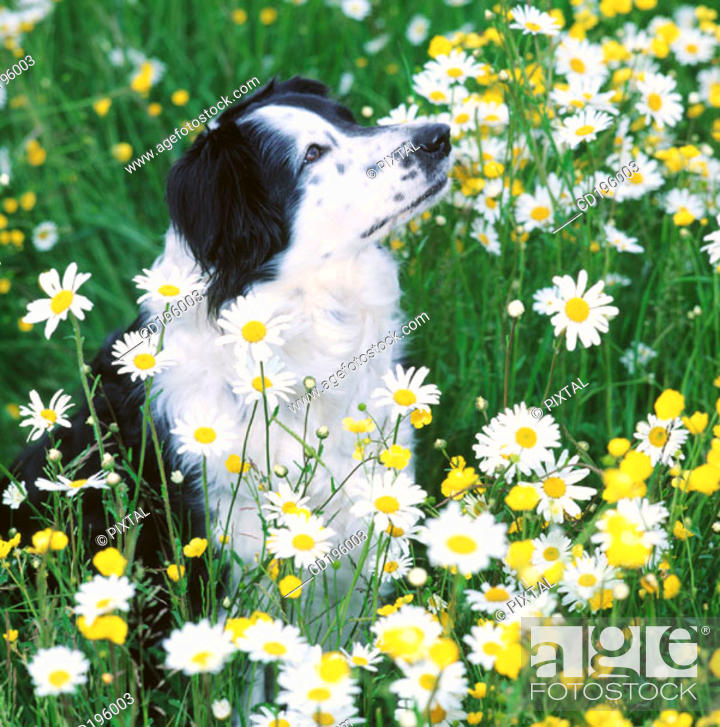 Stock Photo: Border Collie.