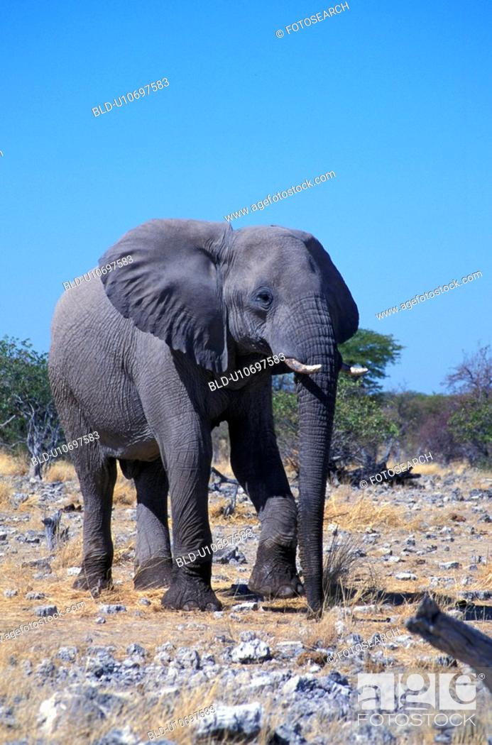 Stock Photo: day, africa, blue, animals, African, elephant, Africa.