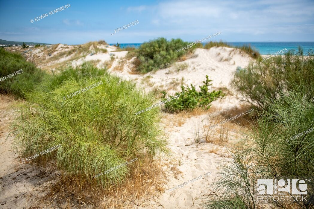Photo de stock: Plantlife Along Dunes, Tarifa, Cádiz, Andalusia, Spain.