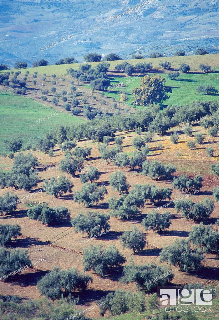 Stock Photo: Olive groves. La Axarquia, Malaga province, Andalucia, Spain.