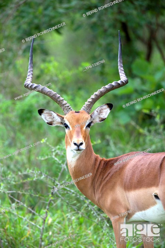 Stock Photo: Impala, Aepyceros melampus, portrait of a male, Lake Mburo National Park, Uganda.