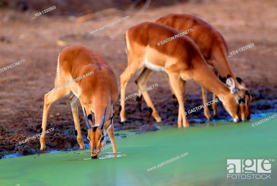 Stock Photo: Impalas Aepyceros melampus, in the waterhole, Kruger National Park, South Africa.