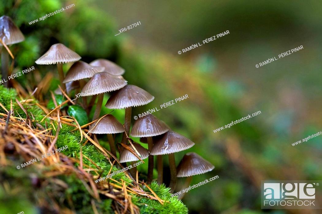 Stock Photo: Setas en el bosque de Espinaredo, Asturias., Mushrooms in the forest Espinaredo, Asturias.