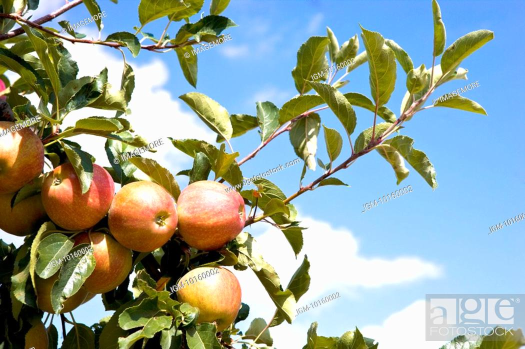 Stock Photo: Apples hanging on tree, France.