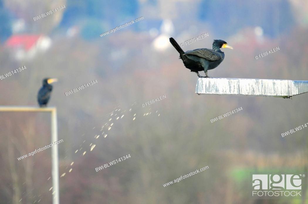 Stock Photo: great cormorant Phalacrocorax carbo, shitting from street light.