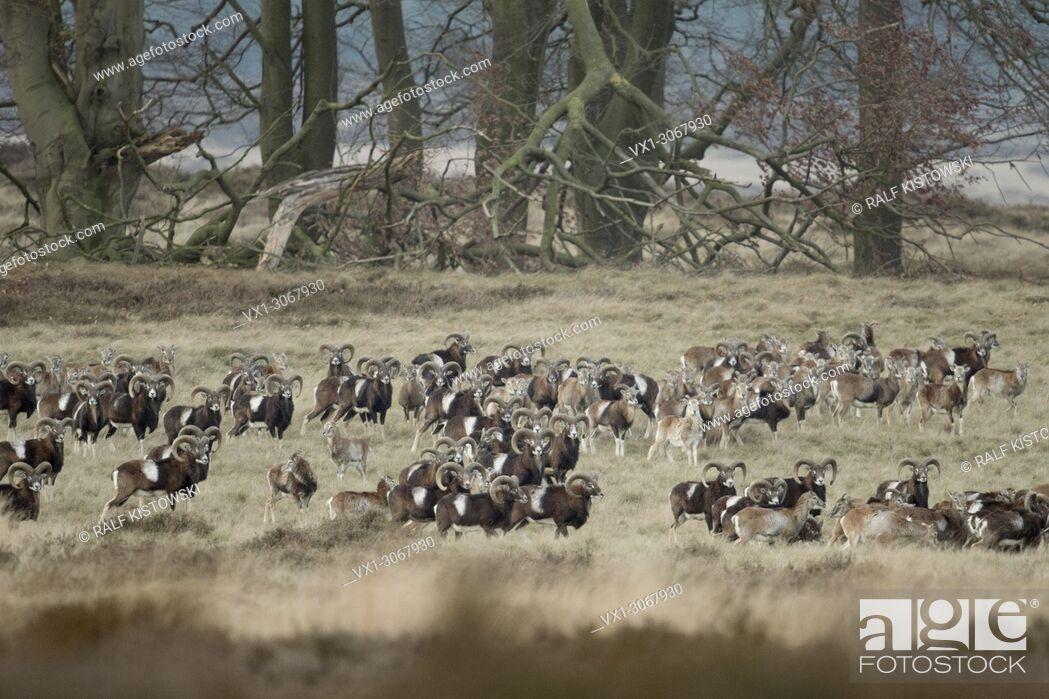 Stock Photo: Flock of European Mouflons ( Ovis orientalis musimon ), in open natural landscape, typical habitat, wildlife, Europe.