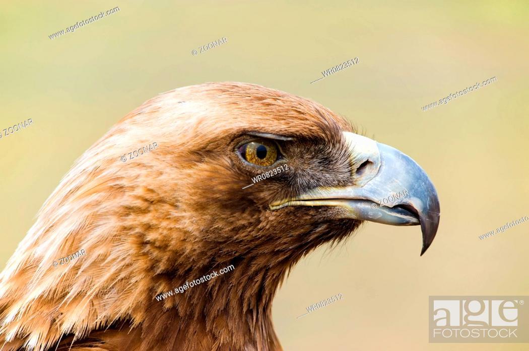 Stock Photo: Golden Eagle. Aquila chrysaetos.