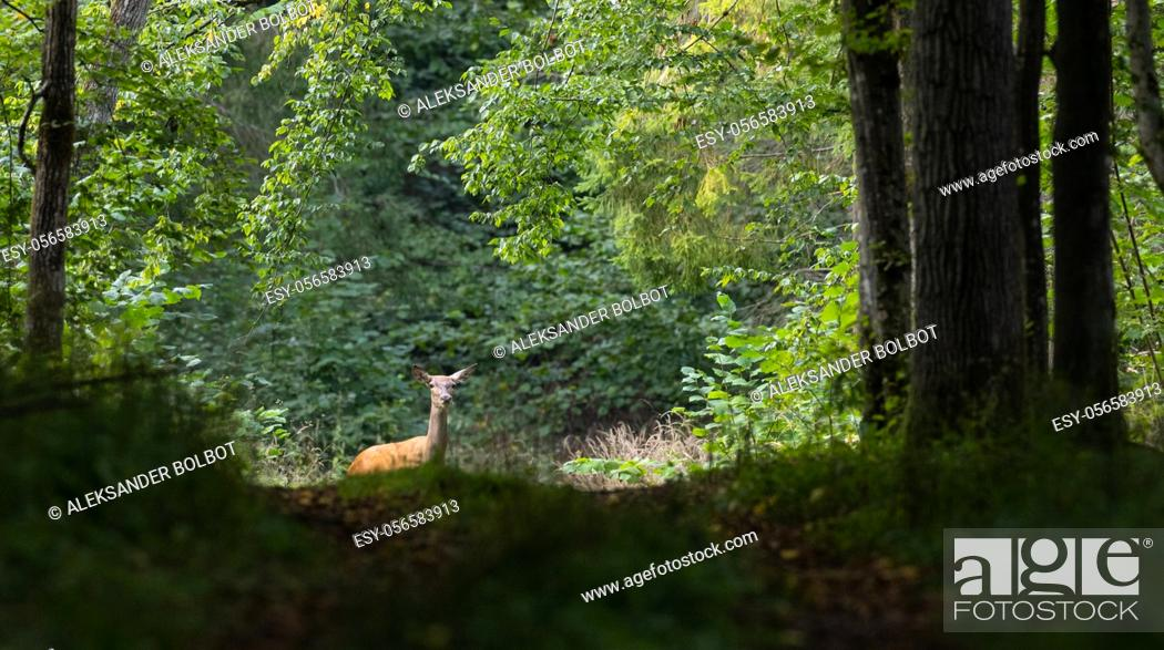 Stock Photo: Red deer (Cervus elaphus) female in summer watching, Bialowieza Forest, Poland, Europe.