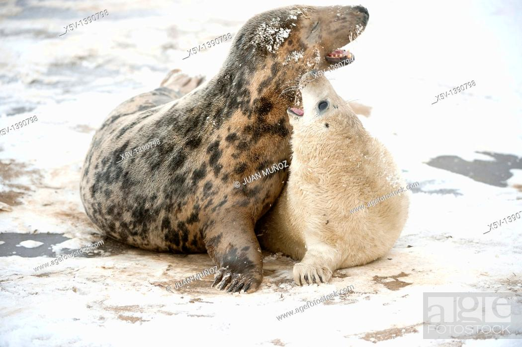 Stock Photo: Breeding colony of Grey Seal. Halichoerus grypus. Donna Nook. Lincolnshire. UK. Europe.