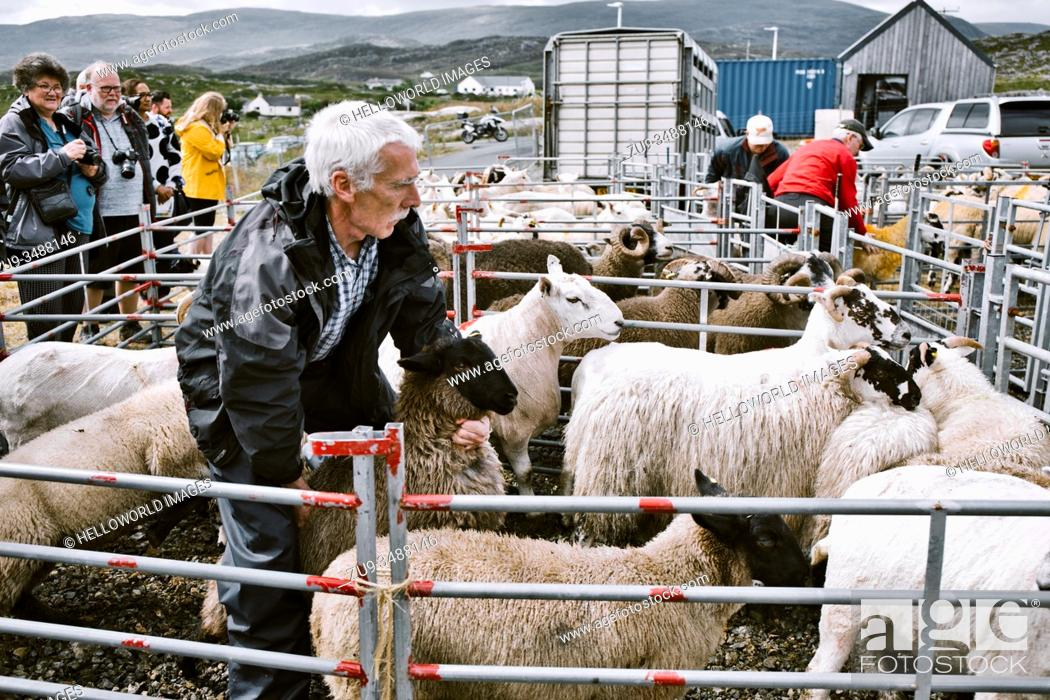 Stock Photo: Farmer catching sheep in oen at North Harris Agricultural Show, Tarbert, Isle of Harris, Outer Hebrides, Scotland.