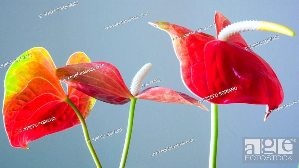 Stock Photo: Anthurium flowers.