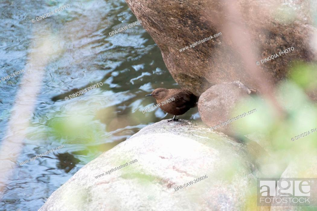 Stock Photo: Brown Dipper, Kedarnath Wildlife Sanctuary, Uttarakhand, India, Asia.
