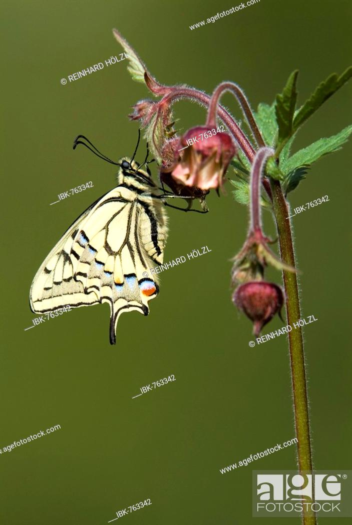 Stock Photo: Old World Swallowtail or Common Yellow Swallowtail (Papilio machaon) perched on a flower, Angerberg, Tirol, Austria.