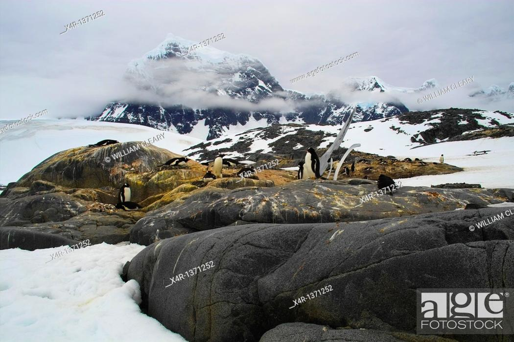 Stock Photo: Gentoo Penguins nesting near Port Lockroy Station, Antarctica.