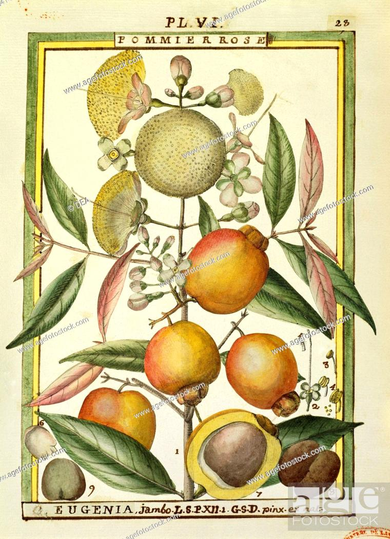 Stock Photo: Herbal, 18th century. Florindie ou Historie physico-economique des vegetaux de la Torride, 1789. Plate: Malabar Plum or Rose apple (Eugenia Jambos or Syzygium.