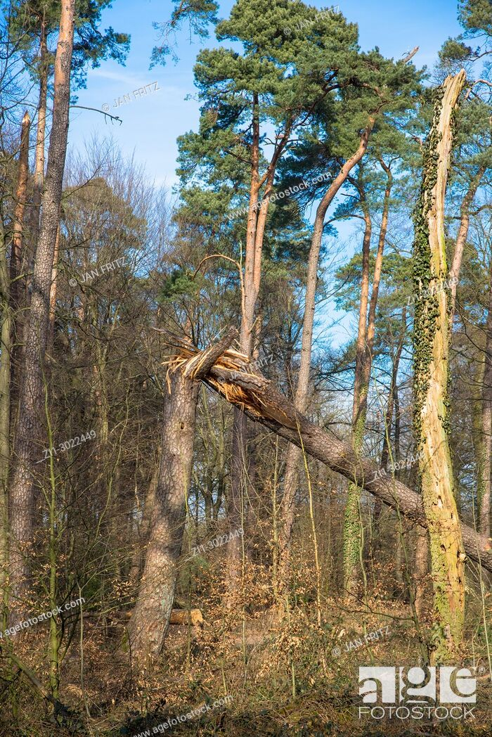 Stock Photo: forest with uprooted tree in Achterhoek, Gelderland, Holland.