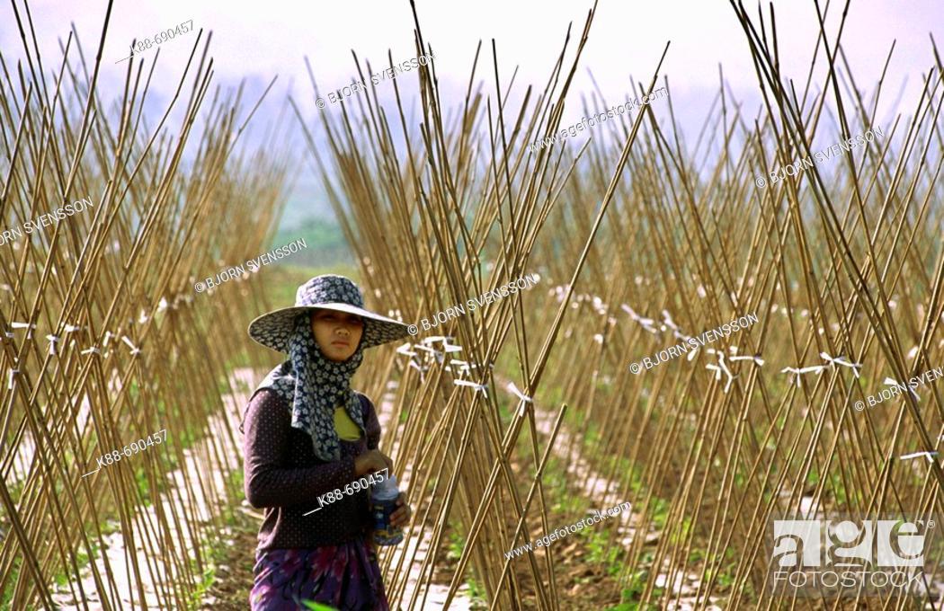 Stock Photo: Woman on a field, Xishuangbanna, Yunnan, China.