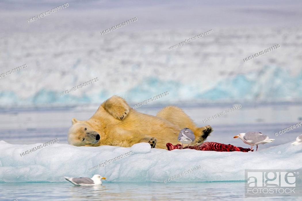 Photo de stock: Norway, Svalbard, Spitsbergern, Polar Bear (Ursus maritimus) with pieces of a killed seal and Glaucous gull (Larus hyperboreus).
